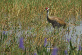 Greater Sandhill Crane (Grus canadensis pratensis)