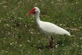 American white ibis (Eudocimus albus)