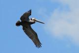 Brown Pelican  (Pelecanus occidentalis carolinensis)