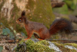 Gallery Eurasian Red Squirrel
