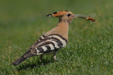 Hoopoe & Kingfisher