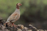 Barbary partridge (Alectoris barbara)