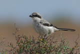 Great Grey Shrike (Lanius excubitor ssp.koenigi)