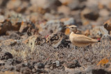 Cream-coloured Courser  (Cursorius cursor ssp. bannermani)