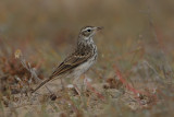 Berthelot's pipit (Anthus berthelotii)