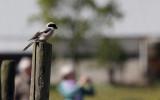 Kleine Klapekster / Lesser Grey Shrike / Lanius minor