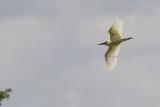 Ralreiger / Squacco Heron / Ardeola ralloides
