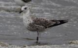 Noorse Kleine Mantelmeeuw / Lesser black-backed gull / Larus fuscus intermedius