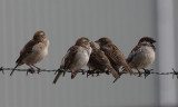 Huismus / House Sparrow / Passer domesticus