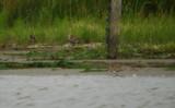 Terekruiter / Terek Sandpiper / Xenus cinereus