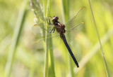 Beekoeverlibel / Orthetrum coerulescens