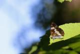 Kleine IJsvogelvlinder / Limenitis camilla