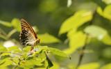 Keizersmantel / Argynnis paphia