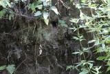 IJsvogelnest / Nest of Common Kingfisher