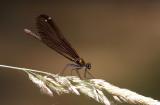 Bosbeekjuffer / Calopteryx virgo