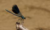 Weidebeekjuffer / Calopteryx splendens