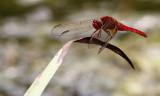 Vuurlibel / Crocothemis erythraea