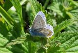 Icarusblauwtje / Polyommatus icarus