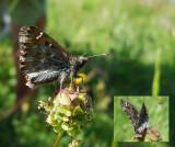 Kaasjeskruiddikkopje / Carcharodus alceae
