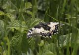 Koninginnepage / Papilio machaon