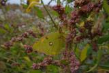 Oranje Luzernevlinder / Colias croceus
