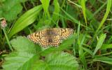 Veldparelmoervlinder / Melitaea cinxia