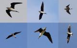 Steppevorkstaartplevier / Black-winged Pratincole / Glareola nordmanni