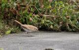 Rosse Waaierstaart / Rufous-tailed Scrub Robin / Erythropygia galactotes