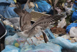 Hybride Geelpootmeeuw x Hybride (Zilvermeeuw x Pontische Meeuw) / Hybrid Yellow-legged Gull x Hybrid (Herring x Caspian Gull)