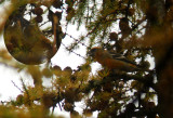 Witbandkruisbek / Two-barred Crossbill / Loxia leucoptera