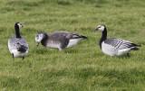Hybride Brandgans / Barnacle Goose hybrid