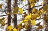 Swinhoes Boszanger / Two-barred (Greenish) Warbler / Phylloscopus plumbeitarsus
