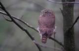 Dwerguil / Eurasian Pygmy Owl / Glaucidium passerinum