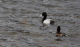 Topper / Greater Scaup / Aythya marila