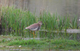 Witstaartkievit / White-tailed Lapwing / Vanellus leucurus
