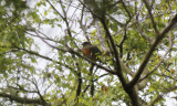 Roodborstlijster / American Robin / Turdus migratorius