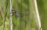 Glassnijder / Haury Dragonfly / Brachytron pratense