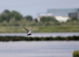Zwarte Stern / Black Tern / Chlidonias niger
