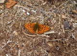 Duinparelmoervlinder / Argynnis niobe