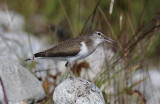 Oeverloper / Common Sandpiper / Actitis hypoleucos