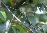 Groene Glazenmaker / Aeshna viridis