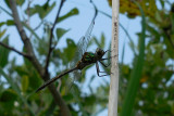 Gevlekte Glanslibel / Somatochlora flavomaculata