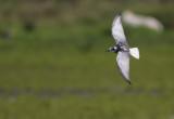 Witvleugelstern / White-winged Tern / Chlidonias leucopterus