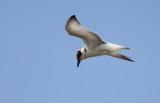 Witwangstern / Whiskered Tern / Chlidonias hybrida