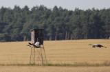 Kraanvogel / Common Crane / Grus grus
