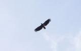 Zeearend / White-tailed Eagle / Haliaeetus albicilla
