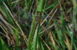 Geelvlekheidelibel / Sympetrum flaveolum