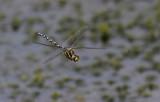 Libellen in Nederland en Europa
