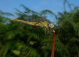 Zwervende Heidelibel / Sympetrum fonscolombii