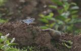 Witte Kwikstaart / White Wagtail / Motacilla alba